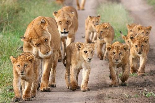 Lion-pride-lions-37839616-500-333 southland post